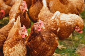 chickens-4168127_640 (1)