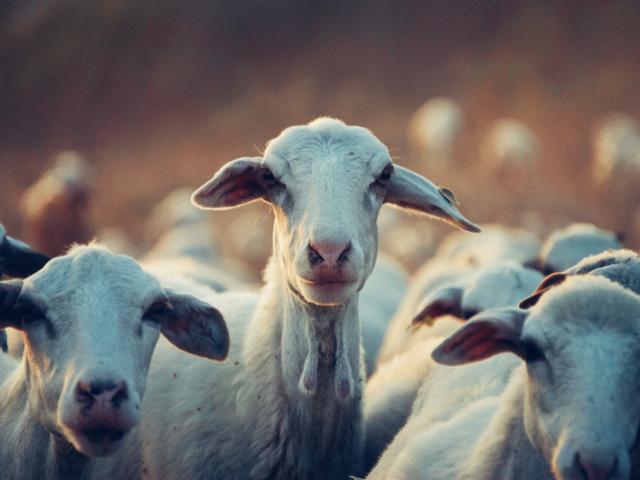NEIKER tuberculosis cabras blancas